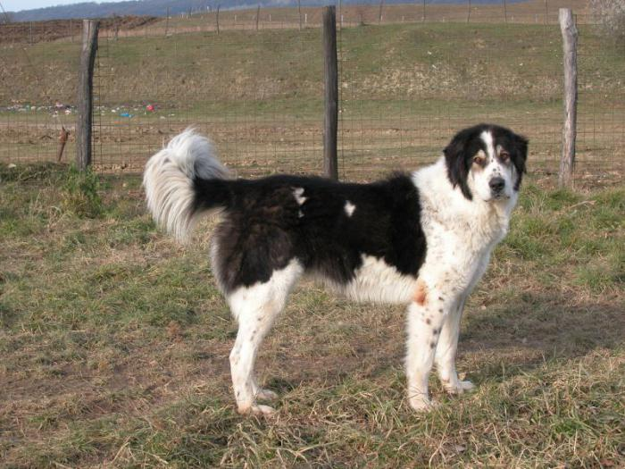 Bukovina Shepherd Dog: description, photo, character