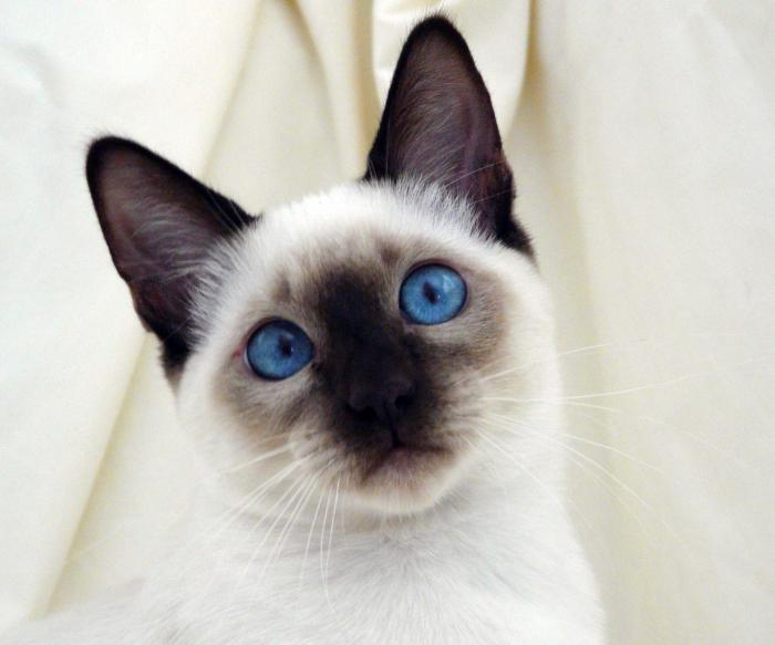 The nature of Siamese cats