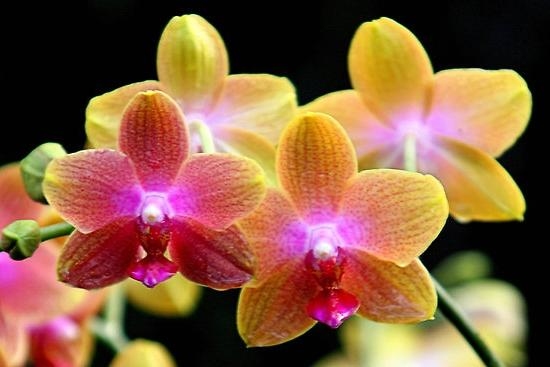 Phalaenopsis - transplant and care after it