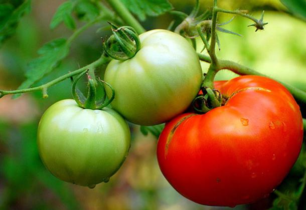 When to plant the tomato seedlings in the open ground